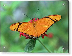 The Julia Butterfly Acrylic Print