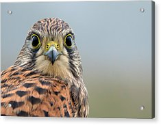 The Kestrel Face To Face Acrylic Print by Torbjorn Swenelius