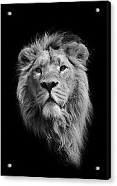 The King Asiatic Lion Acrylic Print by Stephen Bridson Photography