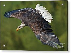 The King Of The Skies... Acrylic Print by Nina Stavlund