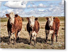 The Ladies Three Colourful Cows Acrylic Print