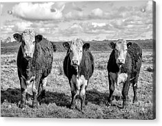 The Ladies Three Cows Acrylic Print