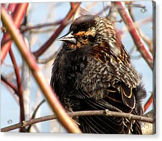 The Lady Blackbird Acrylic Print