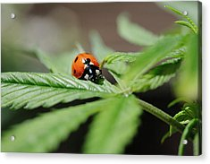 The Ladybug And The Cannabis Plant Acrylic Print
