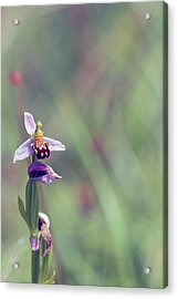 The Last Bee Orchid Acrylic Print