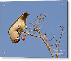 The Last Berries Are For Me Acrylic Print by Liz Leyden