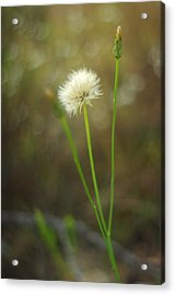 Acrylic Print featuring the photograph The Last Dandelion by Suzanne Powers