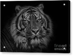 The Last Indonesian Acrylic Print by Ashley Vincent