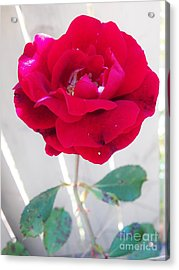 The Last Rose Is For You Acrylic Print by Judy Via-Wolff