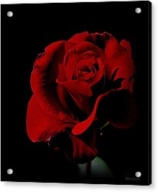 The Last Rose Of  Summer... Acrylic Print by Marija Djedovic