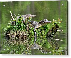 Acrylic Print featuring the photograph The Lazy Gators by Kathy Baccari