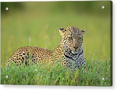 The Leopard Acrylic Print by Roshkumar