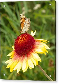 The Life Of A Butterfly Acrylic Print by Margaret  Slaugh