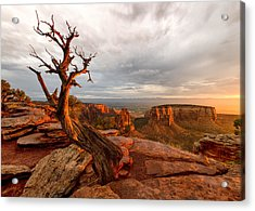 The Light On The Crooked Old Tree Acrylic Print by Ronda Kimbrow