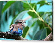 The Lilac Breasted Roller Acrylic Print by Karol Livote