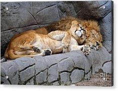 The Lion Sleeps Tonight Acrylic Print by Eva Kaufman