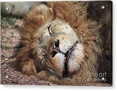 The Lion Sleeps Tonight V4 Acrylic Print by Douglas Barnard