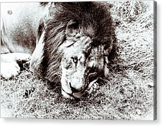 The Lion Sleeps Tonight Acrylic Print by Wade Brooks