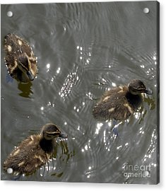 The Little Ducklings Out For A Swim Acrylic Print