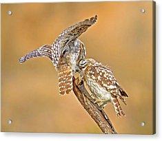 The Little Owl Athene Noctua Acrylic Print by Photostock-israel
