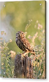 The Little Owl Acrylic Print by Roeselien Raimond