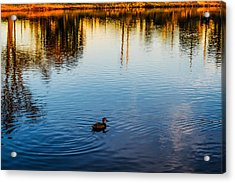 The Lonely Duck  Acrylic Print by Naomi Burgess