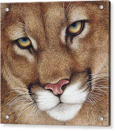 The Look Cougar Acrylic Print by Pat Erickson