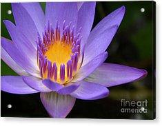 The Lotus Flower - Tropical Flowers Of Hawaii - Nymphaea Stellata Acrylic Print by Sharon Mau