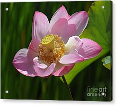 Acrylic Print featuring the photograph The Lotus by Vivian Christopher