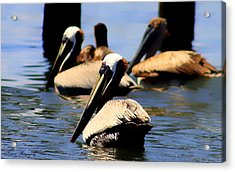 The Lovely Pelican  Acrylic Print
