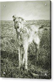 The Lurcher  Acrylic Print by Rob Hawkins