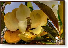 Acrylic Print featuring the photograph The Magnolia by Maddalena McDonald