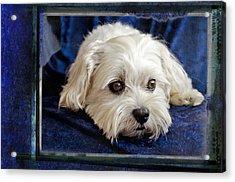 The Maltipoo Bailey On A Blue Background Acrylic Print by Harold Bonacquist