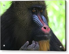 The Mandrill Acrylic Print by Dan Sproul
