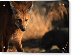 The Maned Wolf Acrylic Print by Karol Livote
