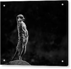 The Meerkat Acrylic Print by Greetje Van Son
