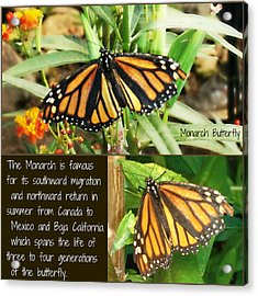 Acrylic Print featuring the photograph The Monarch Story by Mindy Bench