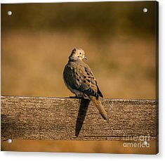 The Morning Dove Acrylic Print