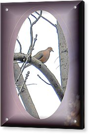The Mourning Dove Acrylic Print by Patricia Keller