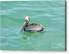 The Napping Pelican Acrylic Print by Margie Amberge