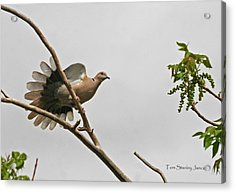 The New Dove In Town Acrylic Print by Tom Janca
