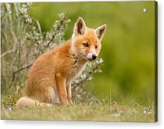 The New Kit ...curious Red Fox Cub Acrylic Print by Roeselien Raimond