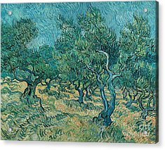 The Olive Grove Acrylic Print by Vincent van Gogh