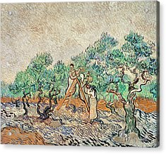 The Olive Orchard, 1889  Acrylic Print by Vincent van Gogh