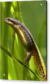 Acrylic Print featuring the photograph The Other Newt by Gene Walls