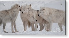 The Pack Acrylic Print