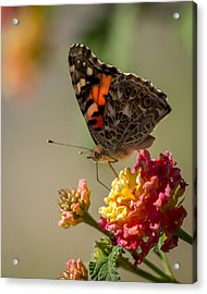The Painted Lady Acrylic Print by Ernie Echols
