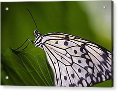 Acrylic Print featuring the photograph The Paper Kite Butterfly by Zoe Ferrie