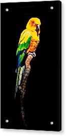 The Parrot Acrylic Print by Dasmin Niriella