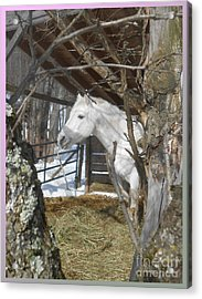 The Paso Fino Stallion At Home Acrylic Print by Patricia Keller